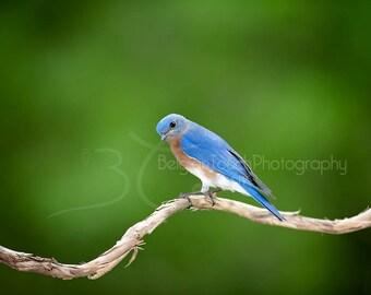 BLUEBIRD IMAGE, Bluebird photography, Bluebird picture, Bluebird print-Bluebird card-Eastern Bluebird-Bluebird-nature print-bird photography