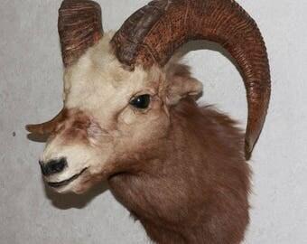 Snow Sheep - Taxidermy Head Shoulder Mount, Stuffed Animal For Sale - Siberian Bighorn Ram - ST3948