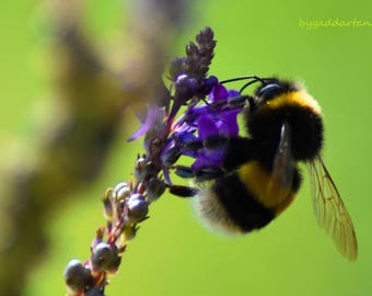 Bumble bee on flower photo, Nature, Bees