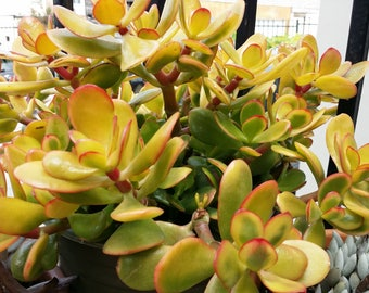 2 Succulent Cuttings (Yellow Jade/Crassula Sunset Bonsai) 3-4""