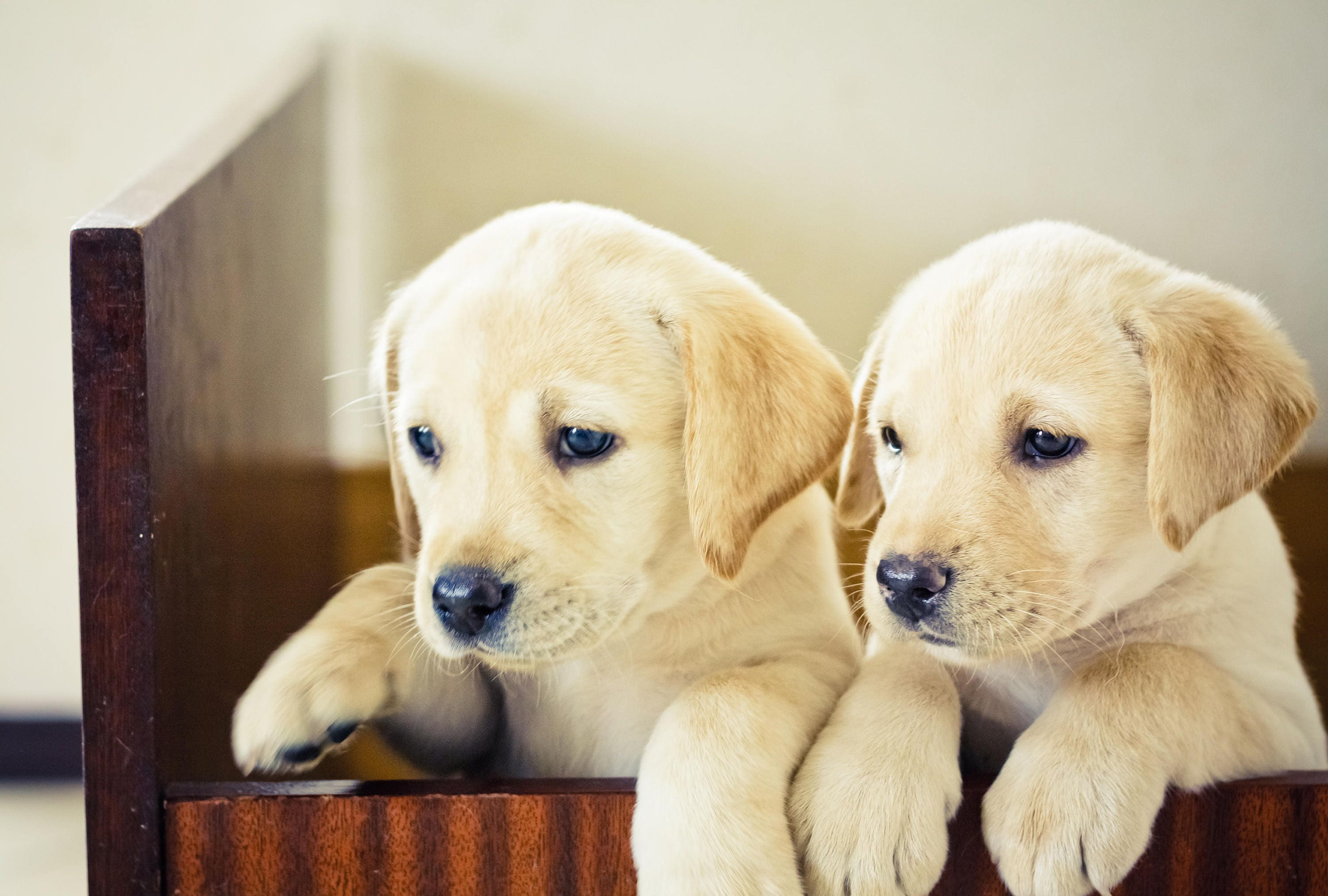 Cute adorable puppies Large Wall Canvas, Landscape Wall Art, Large ...