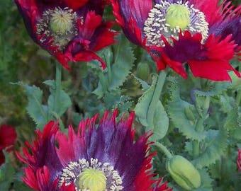 Poppy 'Drama Queen' Seeds / Papaver somniferum / Opium Poppy
