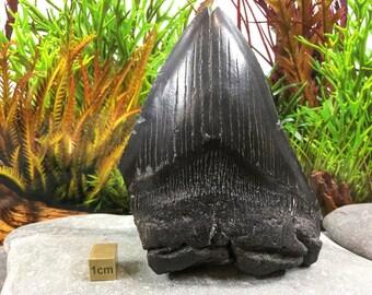 Carcharodon Megalodon Shark Tooth, Miocene, USA - FST050