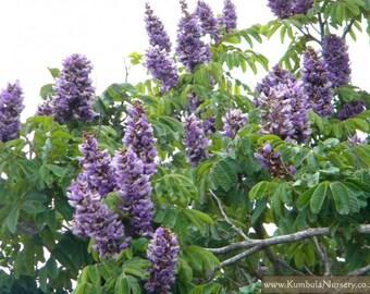 Millettia grandis tree (Umzimbeet) / 10 seeds