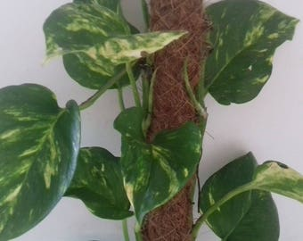 Scindapsus   (Devils Ivy) House Plant with Moss Stick. 50cm tall approx