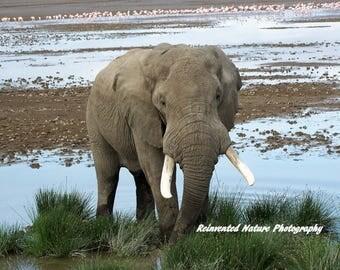 Elephant Photo - Animal Photo - 8 x 10 Matted Original Photography