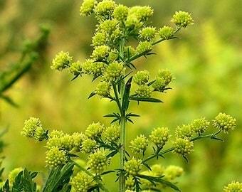 500 Seeds Artemisia annua ,sweet wormwood, sweet annie, sweet sagewort ,