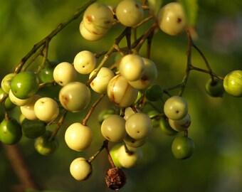 25  Melia azedarach, Azedarach, bead tree, China berry, China tree, Persian lilac, pride of India,
