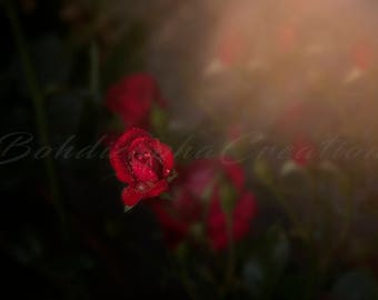 Rose Garden Floral Photography Wall Art in Canvas, Modern Metal, and Color Photo Print