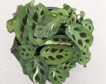 "Maranta leuconeura kershoveana variegated Hanging Plant 6"""