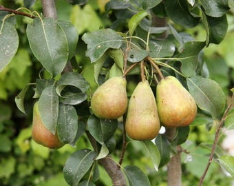 TreesAgain Potted Pear Tree - Pyrus communis - 6 to 10+ inches (See State Restrictions)