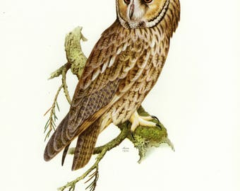 Vintage lithograph of the long-eared owl from 1956