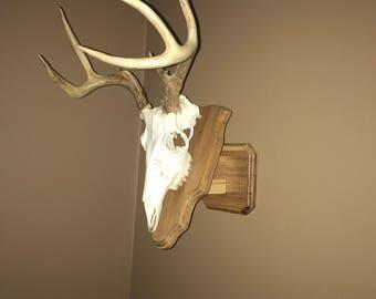 Hickory European Skull Mount Placque whitetail deer