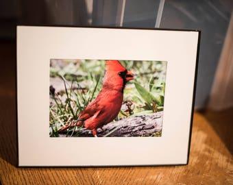 Male Cardinal 5x7 photo in 8x10 frame #1