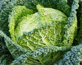 Cabbage Savoy Perfection 100+ seeds - heirloom seeds - vegetable seeds - garden seeds - cabbage seeds - crinkly cabbage seeds - greens seeds