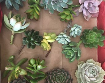 40 succulent cuttings, Perfect for wedding centerpieces, boutonnieres, bouquet, corsages and a cake topper.