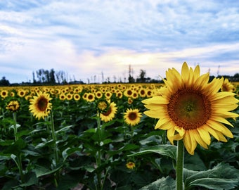 Sunflower Field | Cleveland, OH