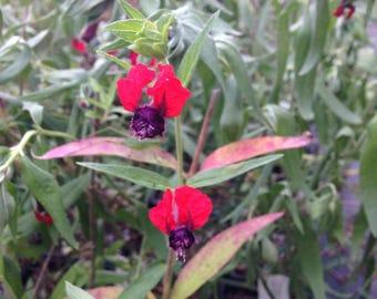 Cuphea Ilavea Batface Pint Plant FREE SHIPPING