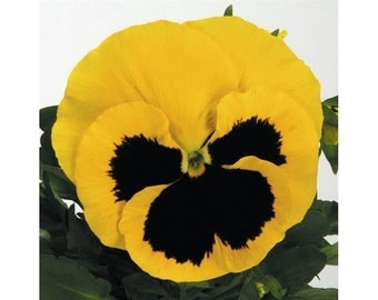 Viola Tricolor Gialla - 30 seeds - Yellow pansy