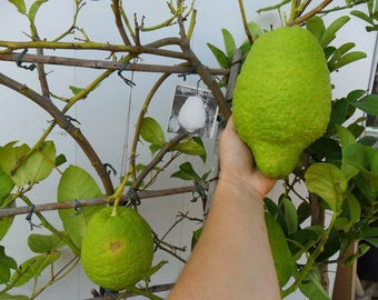 Very rare seed/plantsPonderosa LemonWorld largest lemon variety5 fresh seeds
