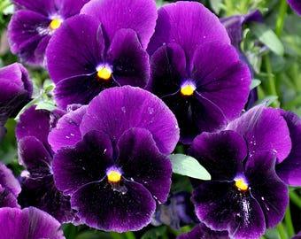 Purple Viola seeds, flower seeds, purple flower seeds