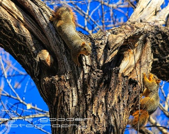 Nature Wildlife, Landscape Photography, Home Decor, Wall Art, Gift, Texas Squirrels