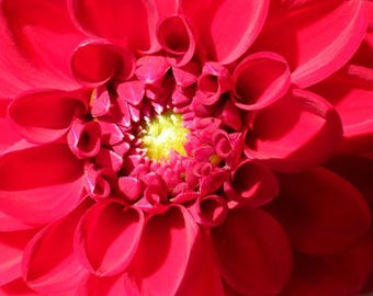 Nature Photography, Wall Art, Red, Dahlia, flower photo, Digital Download, Wall Art Prints, Printable Wall Art, Instant Download, home decor