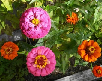 Seeds - Zinnia, Cut and Come Again - 50 ct.