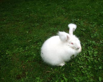 white German Angora rabbit fur