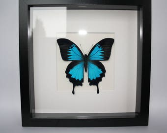 Papilio Ulysses blue butterfly