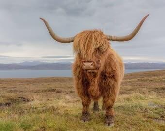 Highland Coo, Skye