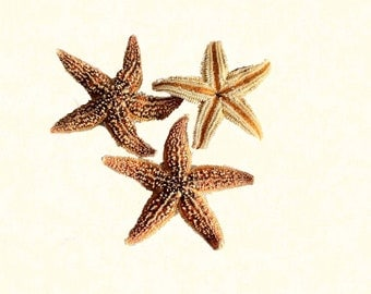 """10 Pcs / Hand Picked - 2""""-3"""" Sugar Starfish"""