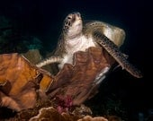 SeaTurtle NoteCard, Underwater Photography