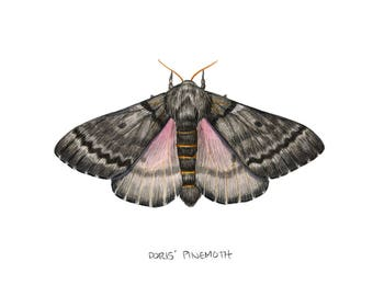 Doris' Pinemoth (Coloradia doris)