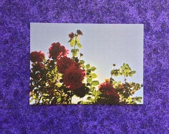 Red Roses and Sky postcard print