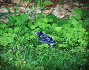 Baby Blue Jay Bird Color Photo Nature FREE US SHIPPING