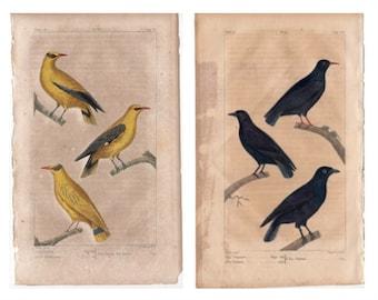 c. 1817 ANTIQUE BIRD PRINTS - hand colored bird engravings - original antique prints - ornithology prints - avian art - Buffon prints