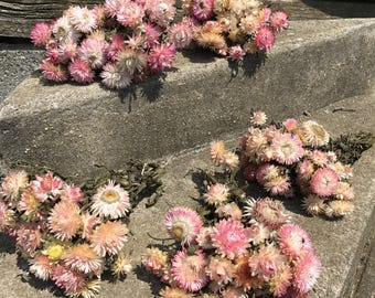 5 bunches of light pink Strawflowers - dried flowers