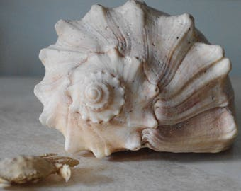 Ivory Whelk Seashell - Conch Shell - Beach Decor
