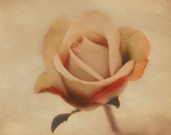 Vintage inspired rose print watercolor photography red and white rose shabby chic nature print wall art fine art photograph decor