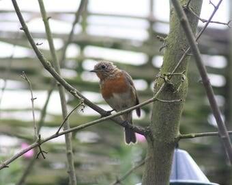 Robin mounted print
