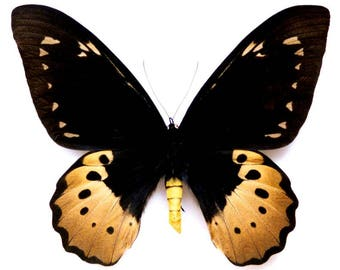 ONE Real butterfly Ornithoptera goliath supremus birdwing female 8.5in wingspan! unmounted wings closed