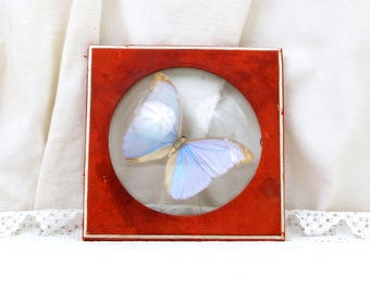 Antique Lepidoptery Butterfly Blue Morpho Mounted in a Glass Dome Red Leather and Gold Gilt Frame Made by N.Boubée in Paris, Lepidopterist