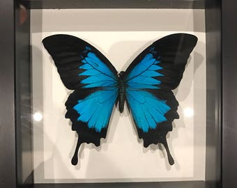 Black and blue swallowtail butterfly taxidermy display!