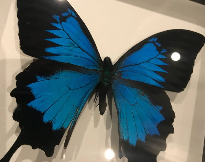Real ulysess butterfly taxidermy display!