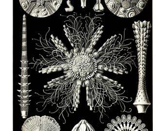 Ernst Haeckel's Vintage Artwork Echinidea
