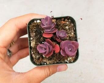 Sedum Cherry Tart Groundcover Succulents Cute Red Berry Dark Purple Miniature Little Succulent Stonecrop Plants Wedding Favor Sedum