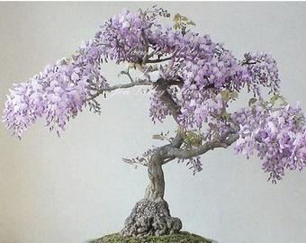 Wisteria sinensis 7 Seeds Profusion of Hanging Clusters of Purple flowers climbing vine, zones 5-9, bonsai