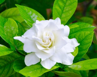 Gardenia flower,162, spring flower, greek seeds, greek flowers, gardening,