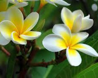 Plumeria seeds,575 flower seeds,gardening, tropical  flower, , flower garden, spectacular flower